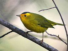 Wilson's warbler migrates through Arizona