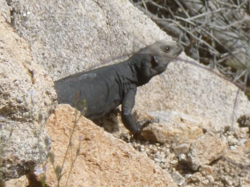 Male Chuckwalla