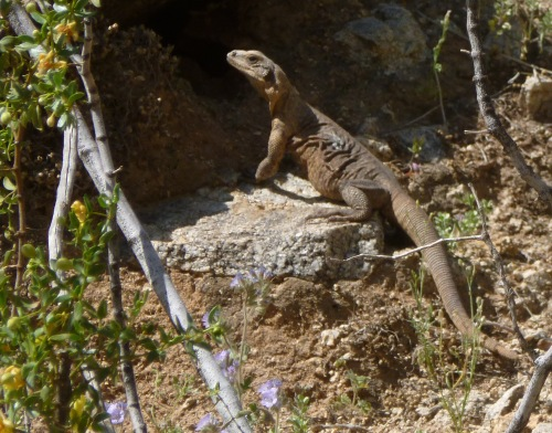 Female Chuckwalla