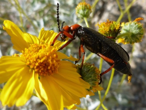 Nearly 2 inch long beetle decimates brittle bush flower