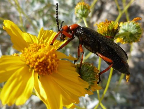 Nearly 2 inch long beetle decimates brittle bush flower