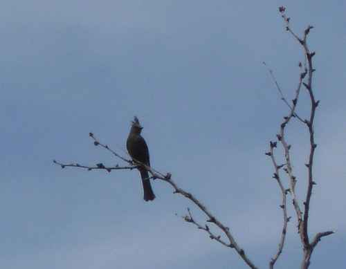 Phainopepla comes from Greek for shining robes.  Wish my picture was better.