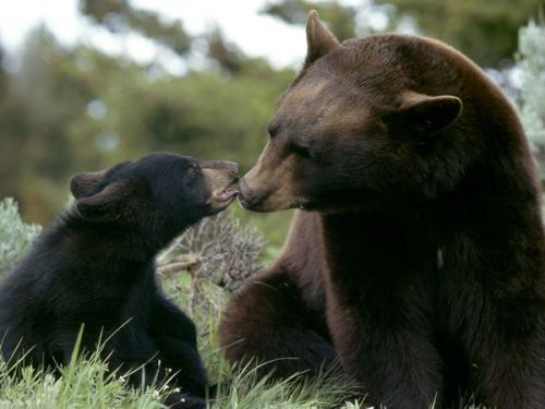 Black bears can also be brown cinnamon or blond.  Photo by National Geographic