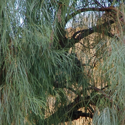 Great horned owl in hiding.  She squawked and now hoots.