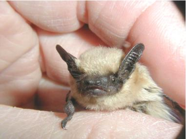 Western pipistrelle Photo courtest of National Park Service