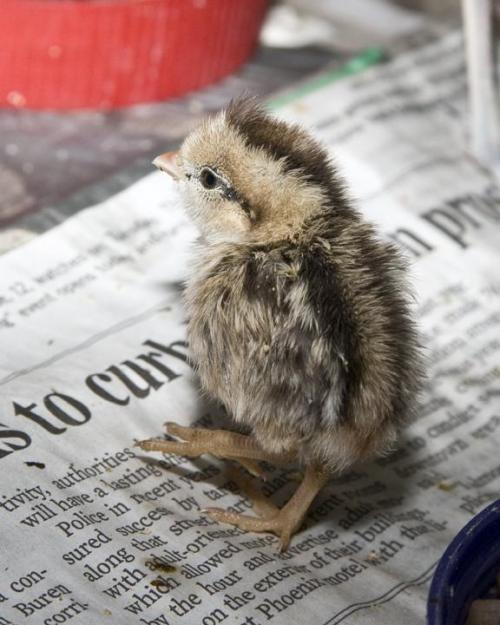 Quail Chick photos by Terry Stevens