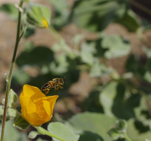 Native bee exits mallow flower