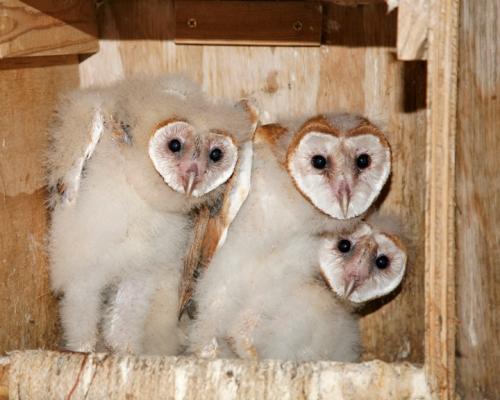 Orphan barn owls at Liberty