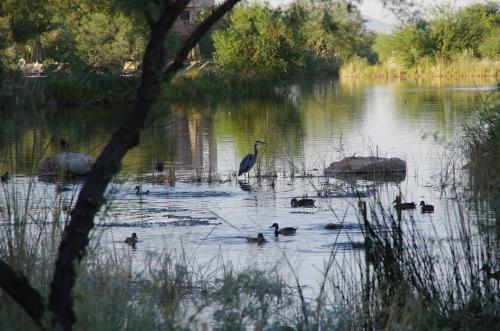 Great blue heron at Wild Horse Pass Resort