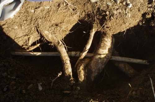 Roots wreak havoc