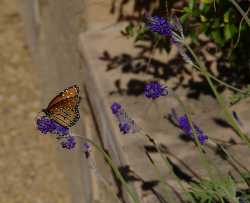 Queen butterly on garden lavender