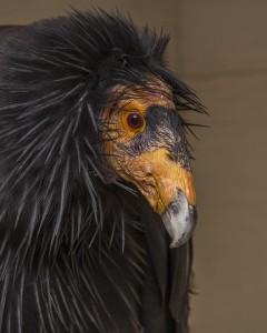 Condor photos courtesy Terry Stevens Liberty Wildlife
