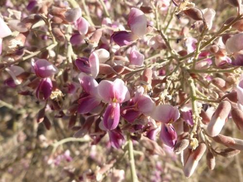ironwood bloom