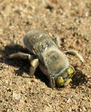 Digging bee