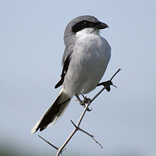 Sometimes called the Butcher Bird