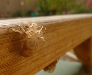 Cicada nymph husk