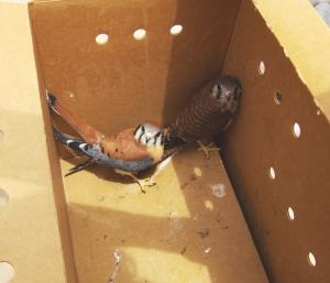 kestrels to release
