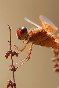 Flame Skimmer is a dragonfly of the Southwest