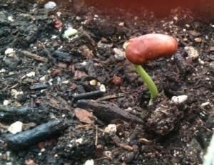 New Life for Scarlet Emporer Bean