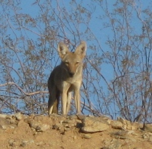 Young spying coyote