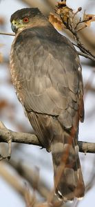 Cooper's hawk  Photo by Wikipedia