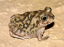 Couch's spadefoot can be 3 inches or more in size.