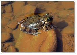 Tiny canyon tree frog